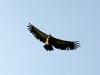 j07_13_vautour