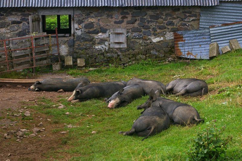 j10_13_cochons_noirs